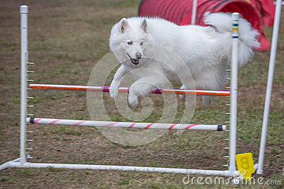 Dog Jumping Course Competition