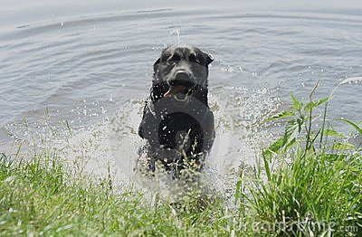 Dog jumping out of the water