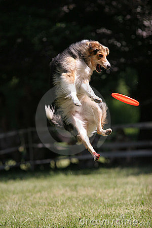 Dog jumps for frisbee disc