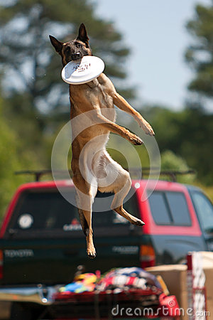 Dog Jumps High To Catch Frisbee In Mouth Editorial Photo