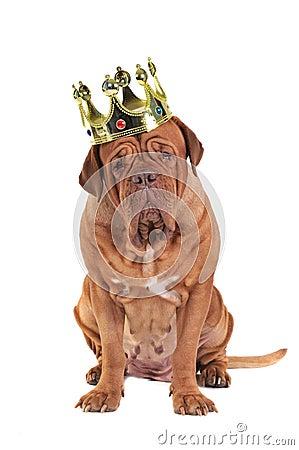 Free Dog King Royalty Free Stock Photography - 17448277