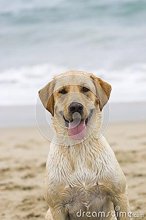 Dog labrador puppy lat the beach