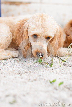 Dog lie down on sand