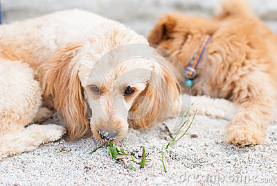Dog lie down on sand