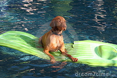 Dog lies on raft in pool