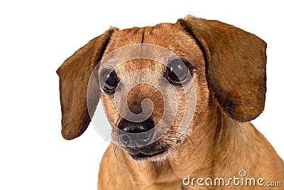 Dog Looking Forward