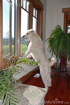Free Dog Looking Out Of Window Royalty Free Stock Image - 3533666