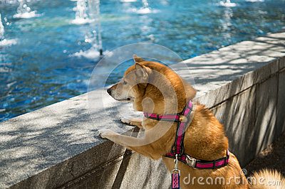 Dog looking at pool