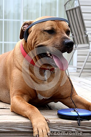 Dog loving his music  with headphones