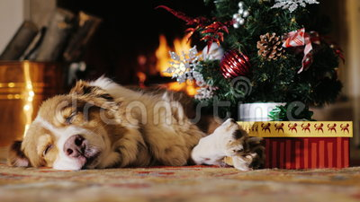 Dog napping near a Christmas tree with a gift. burning fireplace in the background. Concept: warmth and happy Christmas. The dog lies near a Christmas tree on stock video footage