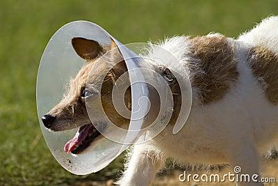 Dog in Neck Cone Collar
