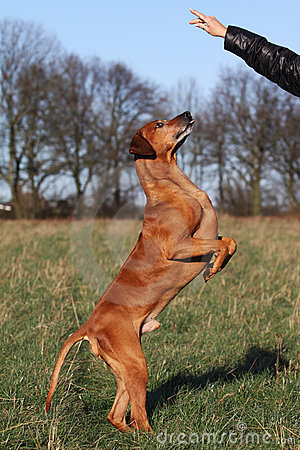 Free Dog Obedient Up Royalty Free Stock Image - 12360996