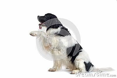Dog Offering Paw