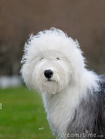 Dog Old English Sheepdog