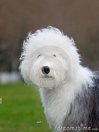 Dog Old English Sheepdog