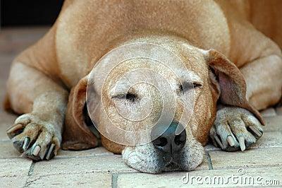 Dog old sleeping