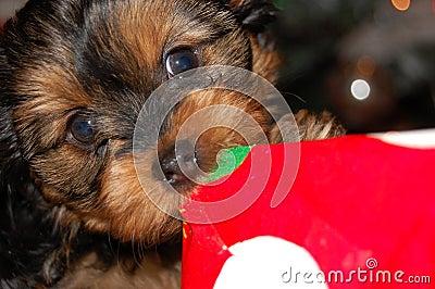 Dog opening Christmas Present