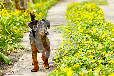 Dog in path of flowers