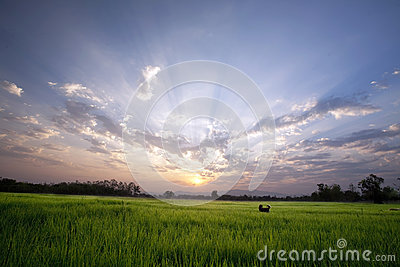 A dog in the peaceful rice field on sunrise sky