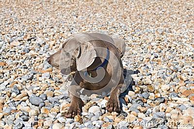 Dog on Pebbles