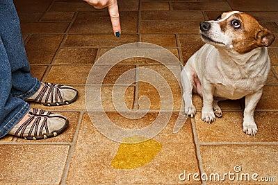 Dog pee scold