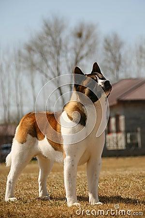 Dog pet Akita