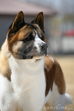 Dog pet Akita Dog