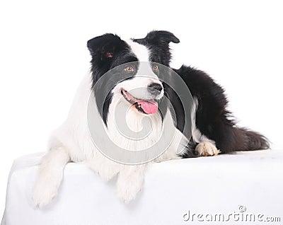 dog Border Collie White background bend over head Positivee Smile.
