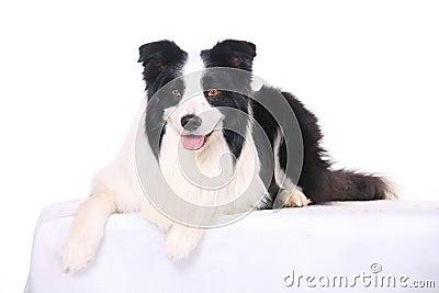 Dog pet Border Collie
