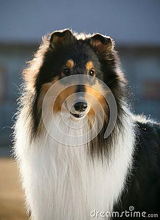 Dog pet Collie