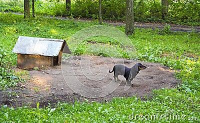 Dog pet dachshund sausage-dog chained dog house