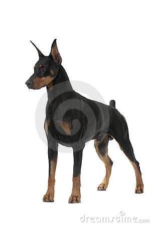 Free Dog Pet Doberman Pinscher Royalty Free Stock Photography - 10054817