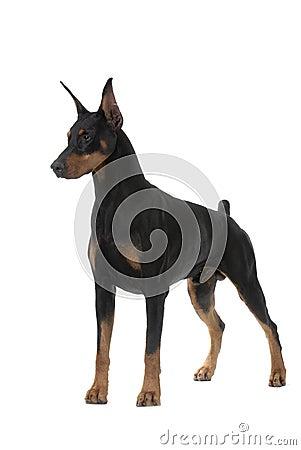 Dog pet Doberman Pinscher
