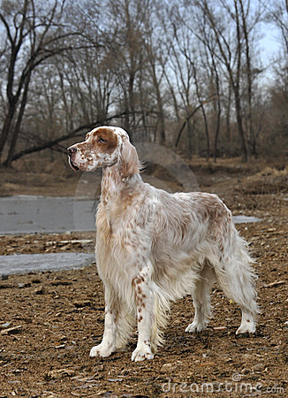 Dog pet English Setter