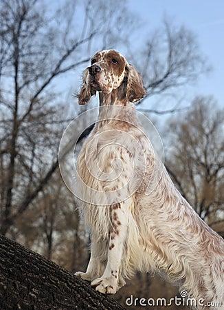 Dog pet English Setter
