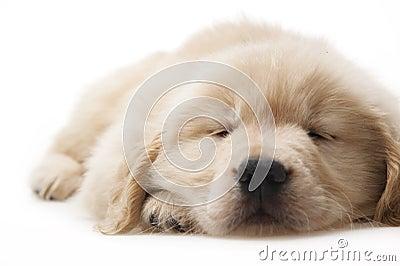 Dog pet Golden Retriever