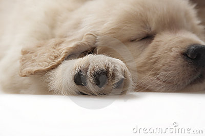 Dog pet Golden Retriever