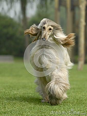 Dog pets  Afghan Hound