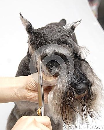 Dog pets  Standard Schnauzer