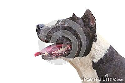 Dog Pit Bull Terrier happy