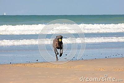 Dog playing ball on the beach