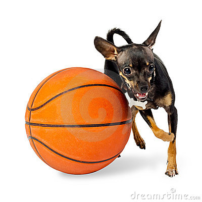 Free Dog Playing Ball - Toy Terrier Dog Royalty Free Stock Image - 22972966