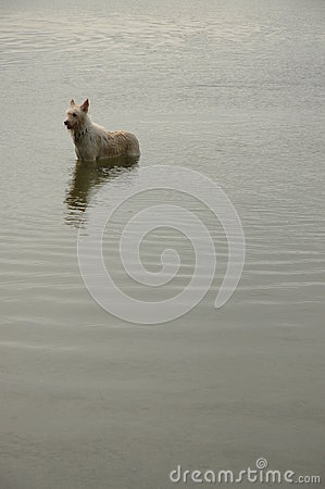Dog in a pond