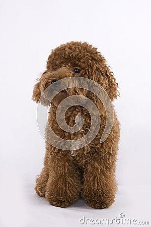 Free Dog - Poodle Royalty Free Stock Photo - 48209485