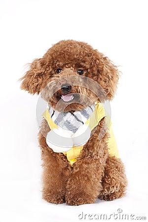 Free Dog - Poodle Royalty Free Stock Images - 48211539