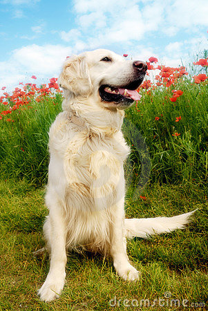 Dog with poppies