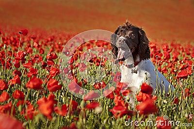 Dog on poppy fields