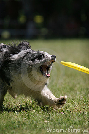 Dog prepare to catch frisbee disc