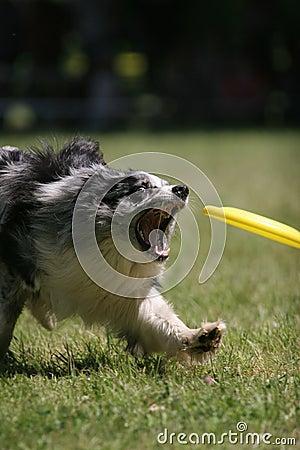 Dog prepare to catch frisbee disc