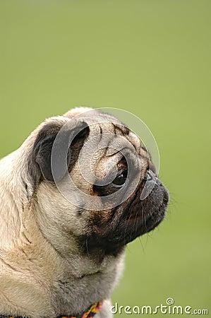 Dog - pug